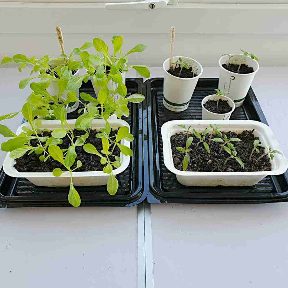 Week 4 growing veg in biodegradable packaging